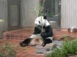 Shuan Shuan the Great Panda (1) - Ueno Zoo