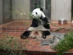 Shaun Shuan the Great Panda (2) - Ueno Zoo