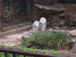 Snowy Owls (Hedwig?) - Ueno Zoo