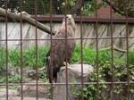 White Tailed Sea Eagle - Ueno Zoo