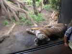 Tigers - Ueno Zoo