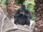 Gorilla - Ueno Zoo