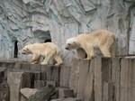 Polar Bears - Ueno Zoo
