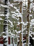 Snow on tree limbs (afternoon 20090120)